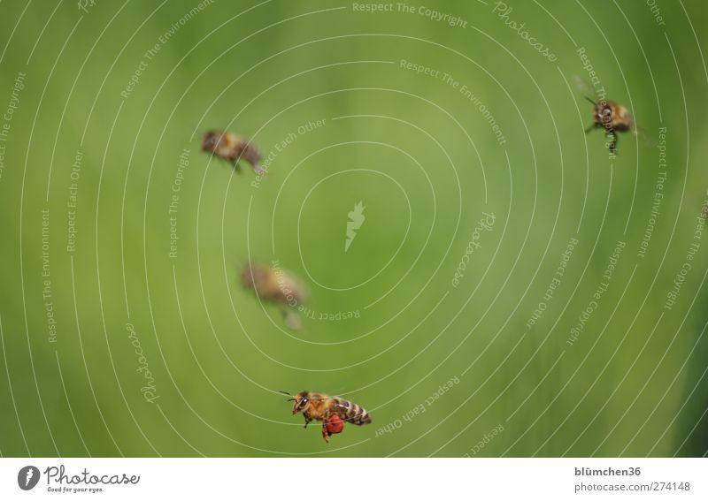 Und diese Biene, die ich meine nennt sich ... Tier Nutztier Schwarm fliegen tragen anstrengen Teamwork Ausdauer Ausflug schön fleißig emsig diszipliniert