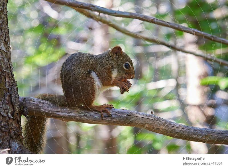 Eichhörnchen / squirrel Umwelt Natur Tier Wildtier ruhig niedlich Nagetiere Waldtier Farbfoto Außenaufnahme Menschenleer Tag Licht Schatten