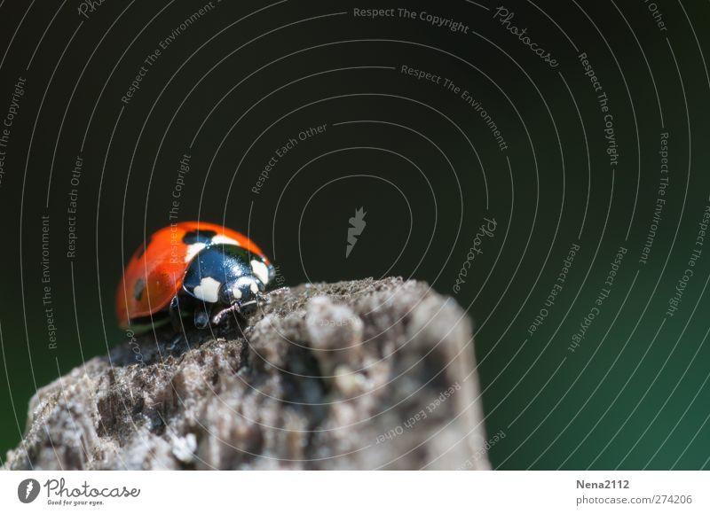 Auf der Abflugsplattform Natur Tier Frühling Sommer Wiese Wald Käfer 1 grün rot Insekt Marienkäfer Glücksbringer Einsamkeit einzeln klein Kontrast Holz Farbfoto