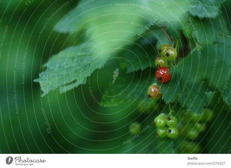 die erste rote Beere Johannisbeere Beeren Johannisbeeren reif Johannisbeerstrauch reife Beere rote Johannisbeere Johannisbeerblatt Bio Bioprodukte Strauch