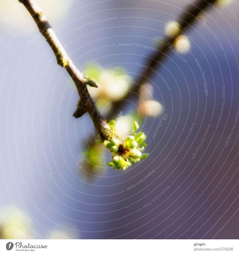 Hiddensee | Wir sind so! Umwelt Natur Pflanze Frühling Schönes Wetter Baum Blatt Grünpflanze blau grün Blattknospe Zweig Wachstum Hintergrund neutral