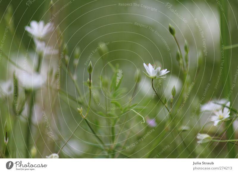 blumenwiese in weiß Natur Pflanze Sommer Blume Wiese Gras hell Feld Blütenknospen Blütenkelch