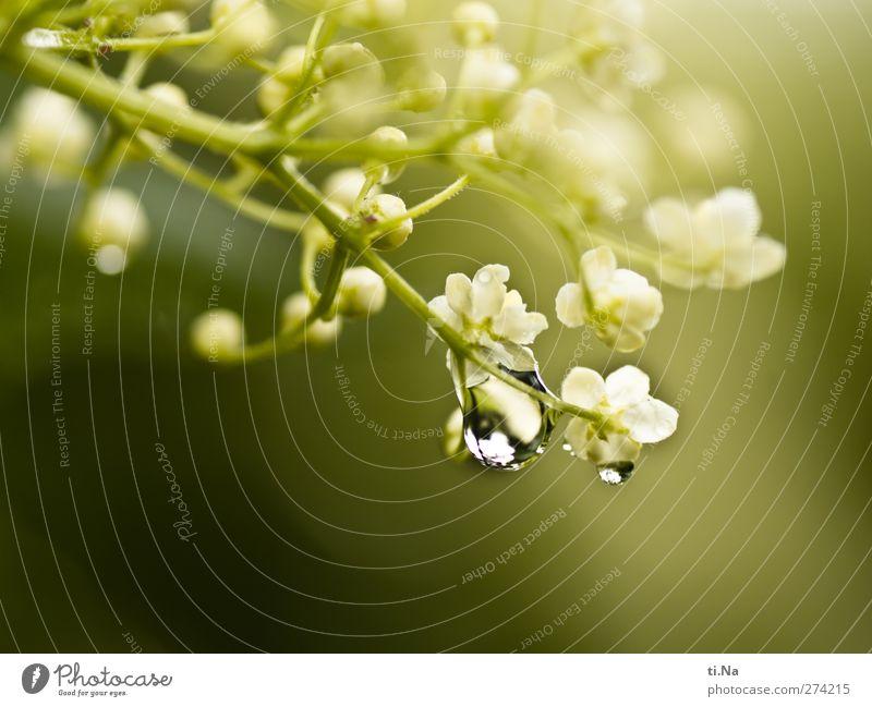 Gute Reise Natur Wasser Wassertropfen Frühling Sommer Blüte Wildpflanze Blühend Duft hell schön Holunderbusch Holunderblüte Tau Farbfoto Makroaufnahme