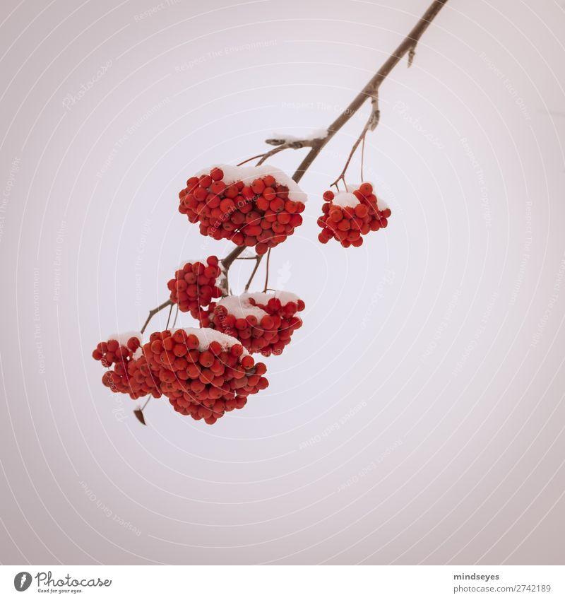 Gemeiner Schneeball im Schnee Natur Winter Pflanze Sträucher Erholung frieren träumen hell kalt rot weiß Tapferkeit Entschlossenheit Hoffnung planen Überleben