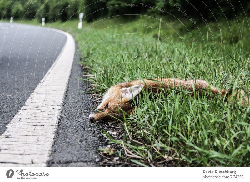 Was hat er euch getan...? Natur grün Sommer Tier Straße Tod Gras Traurigkeit Linie liegen Wildtier Unfall Fuchs Opfer Fahrbahn Landstraße