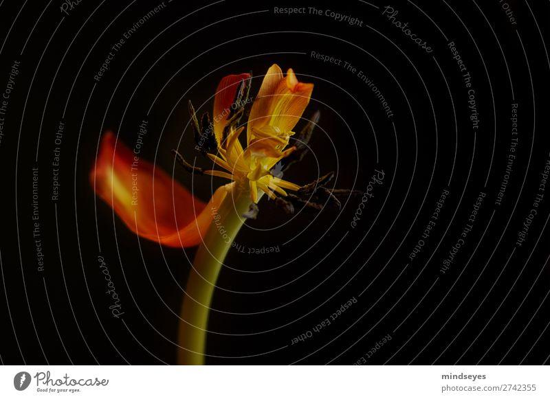 Das letzte Blütenblatt einer verwelkenden Tulpe elegant Natur Pflanze alt Blühend verblüht ästhetisch orange rot Traurigkeit Müdigkeit Einsamkeit Schwäche Tod