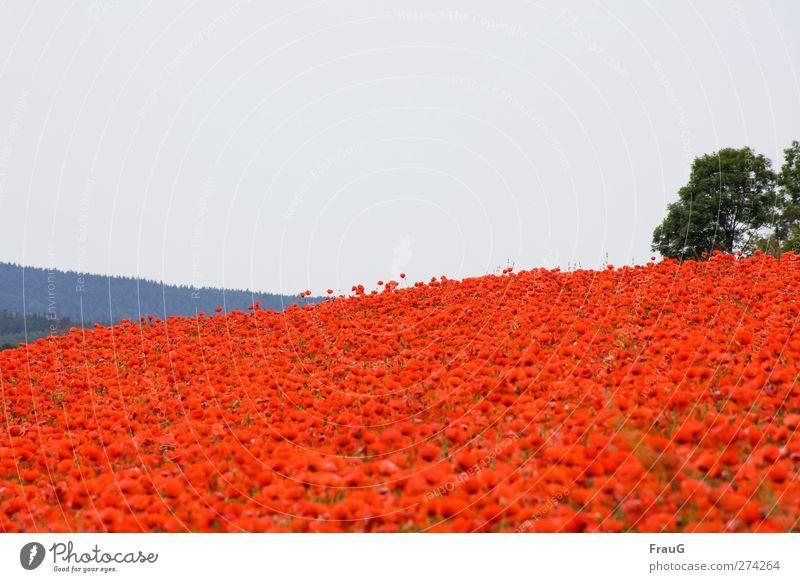 Moooohn...! Himmel Natur blau grün Pflanze rot Landschaft Frühling grau Feld außergewöhnlich frisch leuchten Sträucher Hügel Blühend