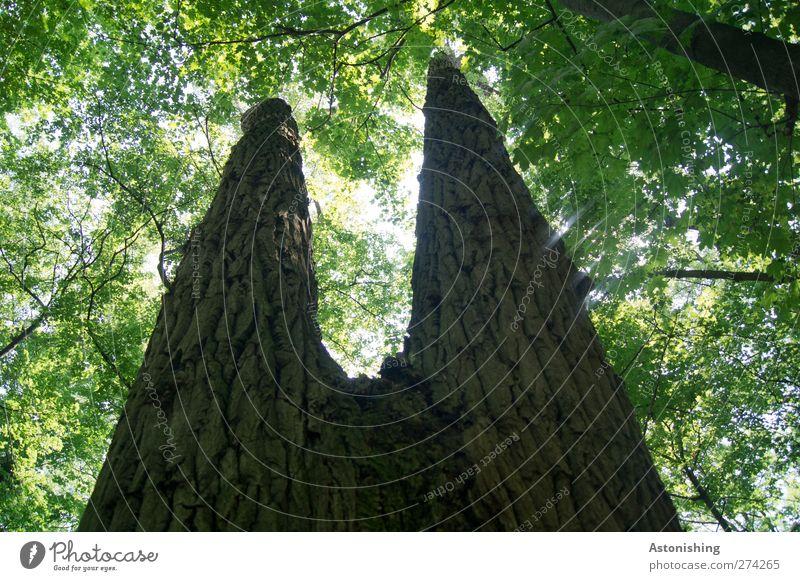 Zwillingsbäume Umwelt Natur Pflanze Himmel Sonne Sonnenlicht Sommer Wetter Schönes Wetter Baum Blatt Wald Urwald Wien hell hoch Baumrinde Baumstamm Blätterdach