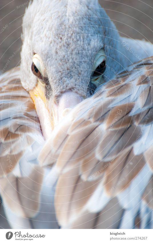 Augenblick III Zoo Tier Vogel Tiergesicht Flügel Pelikan Feder Schnabel 1 Blick warten braun weiß achtsam Wachsamkeit Gelassenheit ruhig Farbfoto