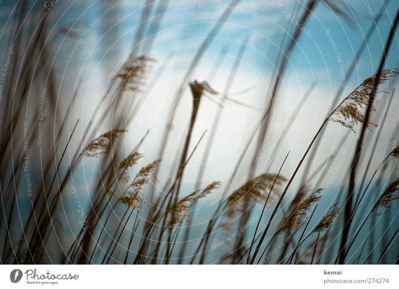 Hiddensee | Halme Himmel Natur blau weiß Pflanze Sommer Wolken Umwelt Feld hoch Wachstum Schönes Wetter dünn Halm Grünpflanze Sumpf