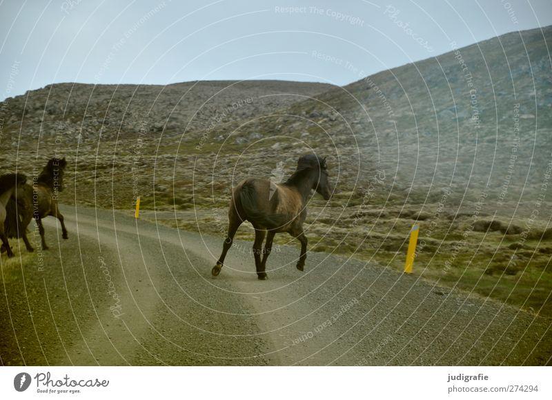 Island Natur Tier Umwelt Landschaft Straße Berge u. Gebirge Leben Freiheit natürlich laufen Tiergruppe Pferd Hügel Verkehrswege Flucht