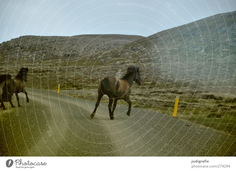 Island Umwelt Natur Landschaft Hügel Berge u. Gebirge Verkehrswege Straße Tier Pferd Tiergruppe laufen natürlich Freiheit Leben Flucht Island Ponys Farbfoto