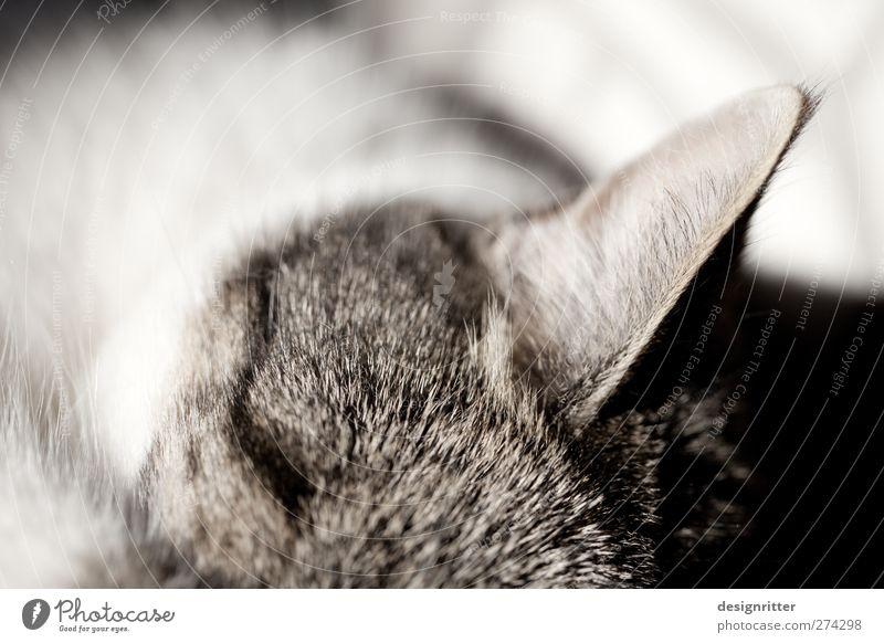 wachsam ... Haustier Katze Fell Ohr 1 Tier Erholung hören schlafen träumen wild weich Vertrauen Sicherheit Schutz Geborgenheit ruhig gefährlich Schüchternheit