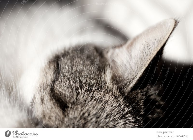 wachsam ... Katze Tier ruhig Erholung träumen wild gefährlich schlafen Sicherheit weich Ohr Schutz Fell Vertrauen hören Wachsamkeit