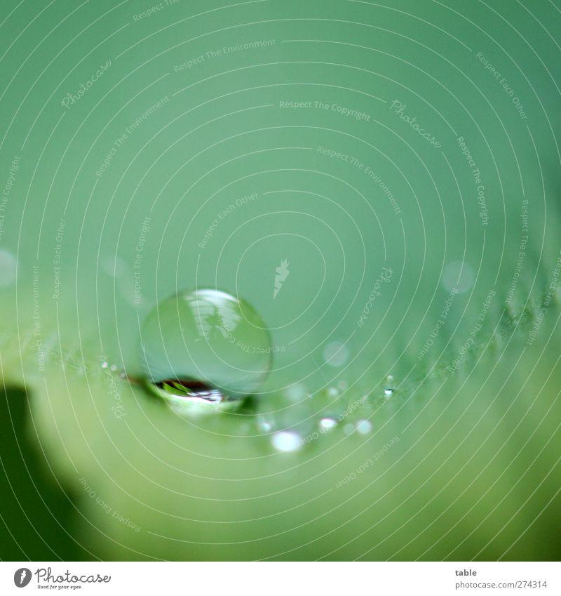 Regen Natur Pflanze Urelemente Wasser Wassertropfen Baum Blatt Grünpflanze Nutzpflanze Wildpflanze exotisch Ginkgo glänzend liegen frisch rund grün schön ruhig