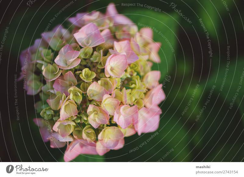 rosa Hortensienblüte Nahaufnahme im Sommergarten schön Freizeit & Hobby Garten Gartenarbeit Natur Landschaft Pflanze Blume Sträucher Blüte Wachstum frisch hell