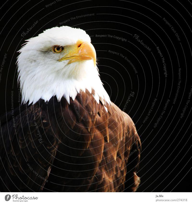 Stolzer Adler Tier Vogel Wildtier Feder Tiergesicht Schnabel Weisskopfseeadler