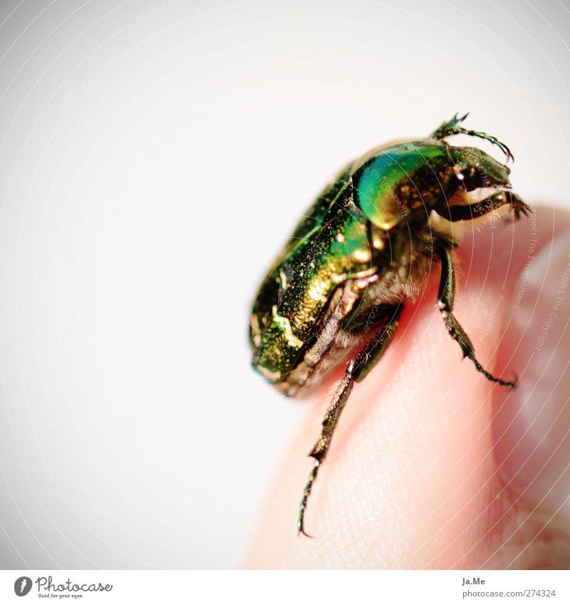 Schillernder Rosenkäfer Tier Wildtier Käfer Insekt Käferbein 1 gold grün Farbfoto mehrfarbig Außenaufnahme Detailaufnahme Makroaufnahme Tag Starke Tiefenschärfe