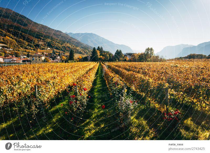 Weinberge in Trento im Herbst Ferien & Urlaub & Reisen Berge u. Gebirge Landschaft Alpen Dorf Stadt gelb herbstlich Reihen Trient Trentino Südtirol Italien