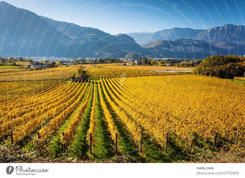 Weinberge in Trento im Herbst Ferien & Urlaub & Reisen Berge u. Gebirge Landschaft Feld Alpen Dorf Stadt blau gelb herbstlich Reihen Trient Trentino Südtirol