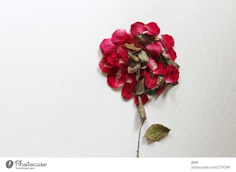Röslein Pflanze Rose Blüte ästhetisch einfach schön einzigartig rund trocken braun grau grün rot weiß Natur abstrakt Blume Farbfoto Innenaufnahme Tag Totale