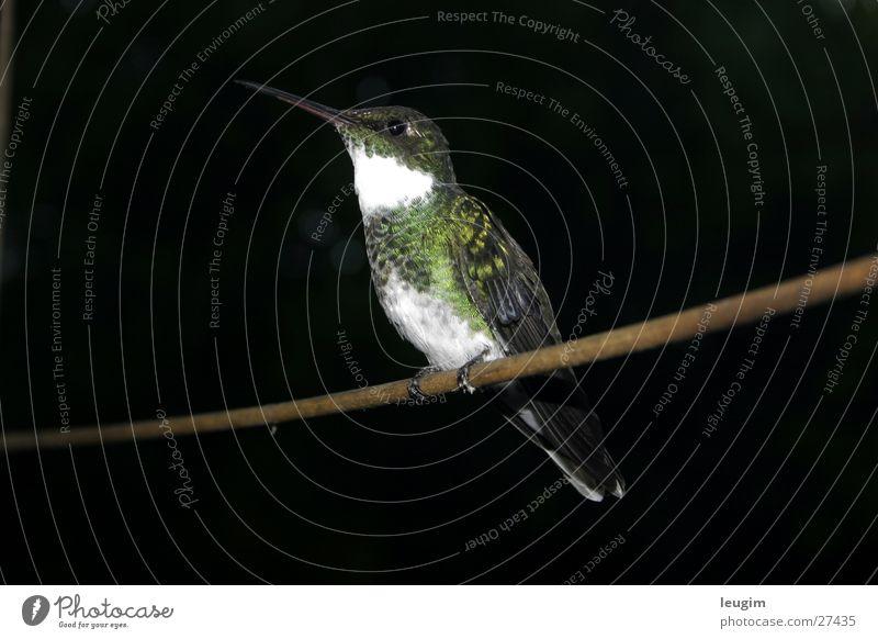Picaflor auf der Stange Natur grün Vogel Wildtier Stock Stab Argentinien schillernd Kolibris