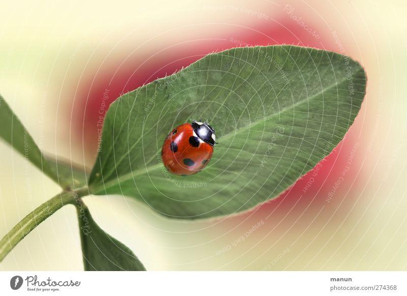 Punktlandung Natur Blatt Kleeblatt Tier Wildtier Käfer Marienkäfer Zeichen Glücksbringer authentisch natürlich Farbfoto Menschenleer Zentralperspektive