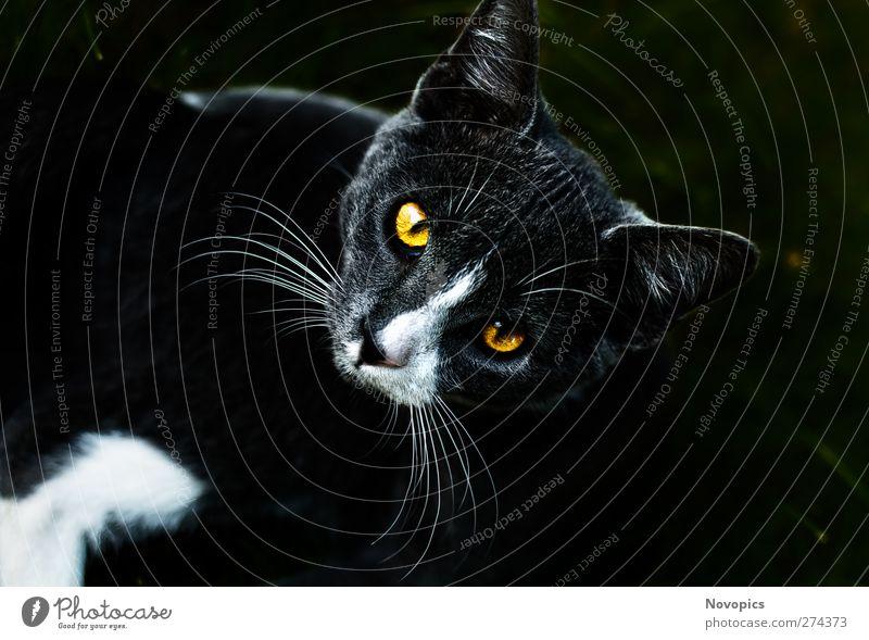 house cat's eye Tier Haustier Katze dunkel gelb grau Hauskatze Felis silvestris catus Katzenaugen Auge weiß Katzennase Schnurrhaar animal pet mammal cat's-eye