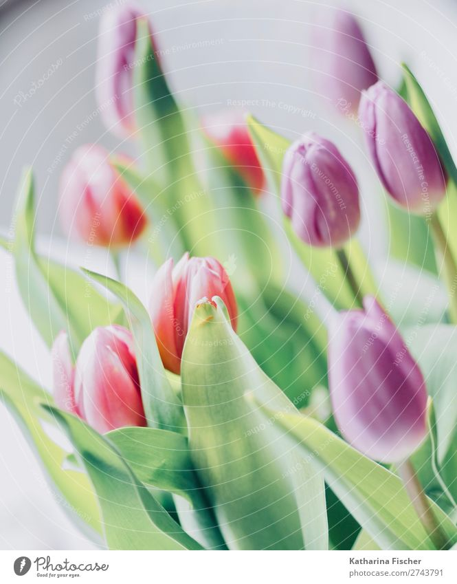 Tulpenstrauß Blumen Frühling Natur Sommer Pflanze grün rot Blatt Winter Herbst Blüte rosa Dekoration & Verzierung leuchten Wachstum Blühend