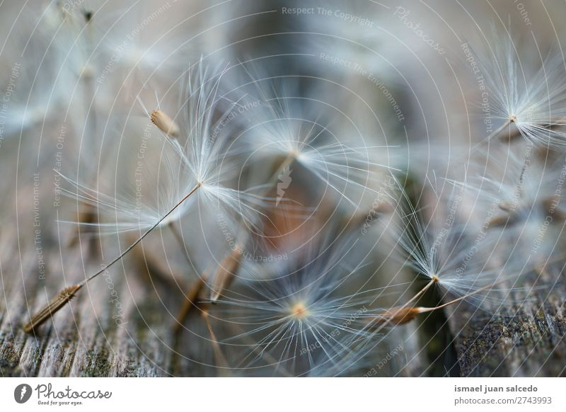 Löwenzahn Blumensamen Pflanze Samen geblümt Garten Natur Dekoration & Verzierung abstrakt Konsistenz weich Außenaufnahme Hintergrund romantisch Zerbrechlichkeit