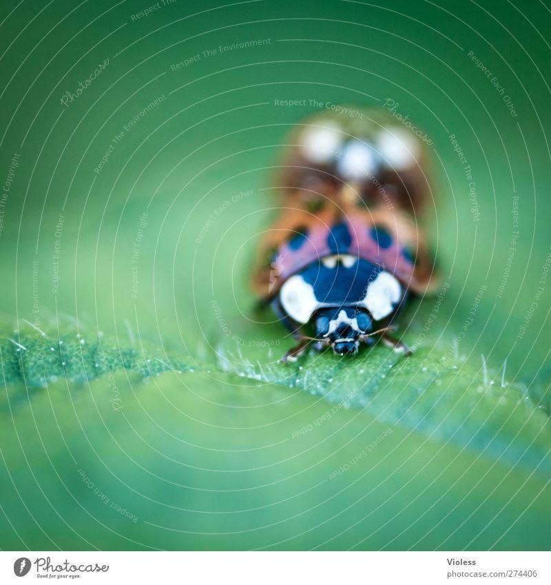 Frühlingsgefühle Käfer 2 Tier Tierpaar Liebe natürlich Marienkäfer Punkt Farbfoto Außenaufnahme Nahaufnahme Makroaufnahme Textfreiraum links Textfreiraum unten