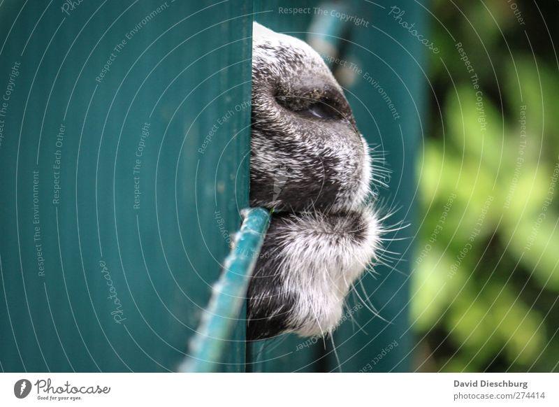 Ausbruchsversuch blau grün Tier schwarz Nase Fell Zaun Zoo Versuch gefangen Gitter Maul Schnauze Nutztier Ziegen