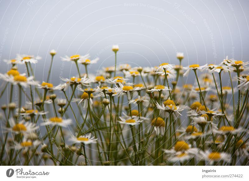 Blümchen Kräuter & Gewürze Tee Umwelt Natur Pflanze Himmel Sommer Blume Blüte Wildpflanze Kamillenblüten Wiesenblume Feld Blühend Duft Wachstum Freundlichkeit