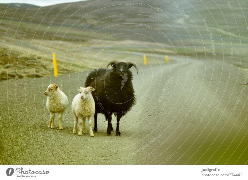 Island Natur Landschaft Straße Wege & Pfade Tier Nutztier Schaf Lamm 3 Tiergruppe Tierfamilie warten klein natürlich niedlich Leben Farbfoto Gedeckte Farben