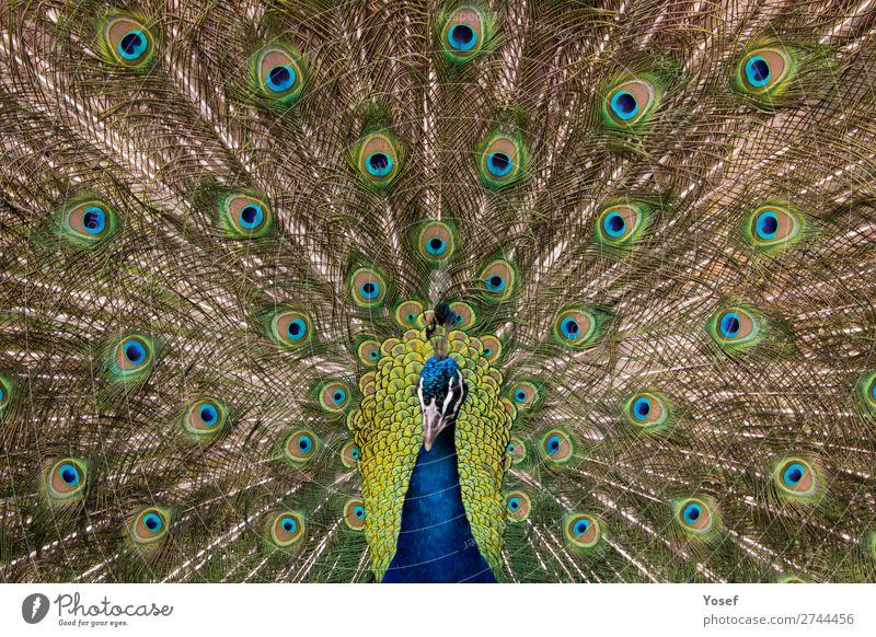 Pfauenvogel mit ausgefahrenen und geöffneten Fiedern (Kopf unscharf) Tiere Vögel Natur Offener Pfau Frühling Tierwelt Zoo natürlich Federn wunderschön