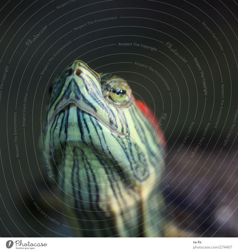 Tortilla Tier ruhig Tiergesicht Gelassenheit Stolz Weisheit Hochmut Schildkröte