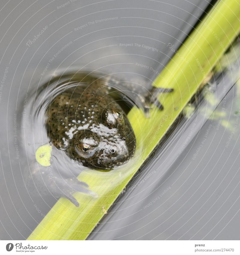 bin baden Natur Wasser grün Tier Umwelt Auge grau Kopf Schwimmen & Baden Wildtier Frosch Teich Rotbauchunke
