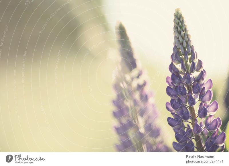 Lupinen Duo Natur schön Sommer Sonne Pflanze Tier Umwelt Wiese Wärme Gras Blüte Freundschaft Gesundheit Zusammensein Feld glänzend