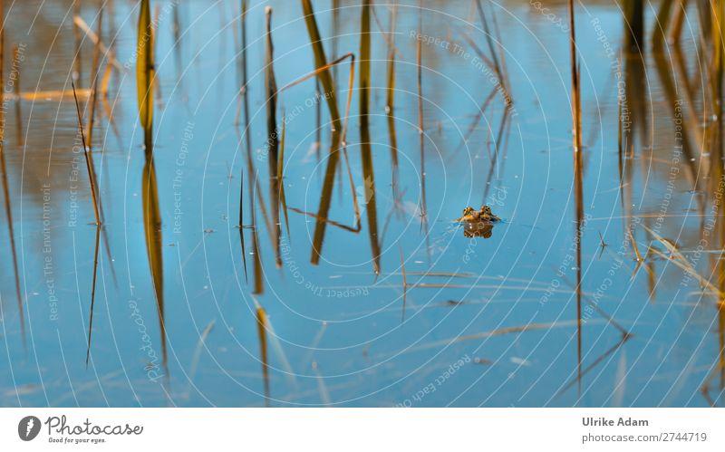 Kröte im Teich Natur Pflanze blau Tier Umwelt Auge Frühling natürlich Freiheit See Schwimmen & Baden nass Seeufer Frieden Schilfrohr