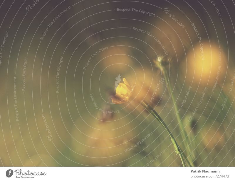 verdeckt Umwelt Natur Pflanze Tier Sonne Sonnenaufgang Sonnenuntergang Sonnenlicht Sommer Klima Klimawandel Schönes Wetter Blume Blüte Wildpflanze Butterblume