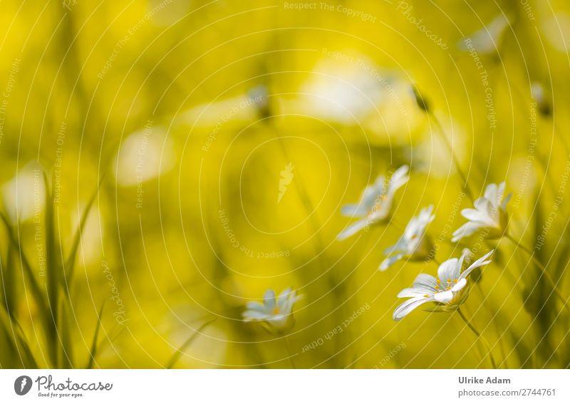 Sternmiere (Stellaria) Natur Pflanze grün weiß Blume Erholung ruhig Leben Blüte Frühling Wiese Feste & Feiern Gras Design Dekoration & Verzierung leuchten