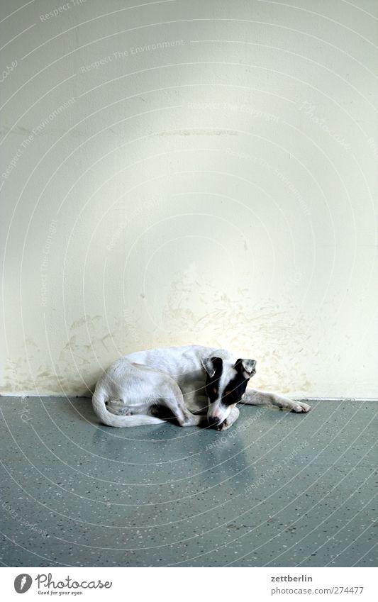 Hundi Mauer Wand Tier Haustier 1 liegen schlafen Tierjunges Terrier bürohund Farbfoto Gedeckte Farben Innenaufnahme Textfreiraum oben Tierporträt