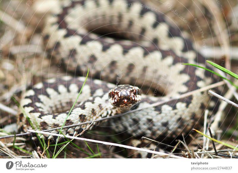 Natur Tier schwarz braun wild Angst Wildtier gefährlich groß Fotografie Europäer Aggression gestreift Schlange Gift Reptil