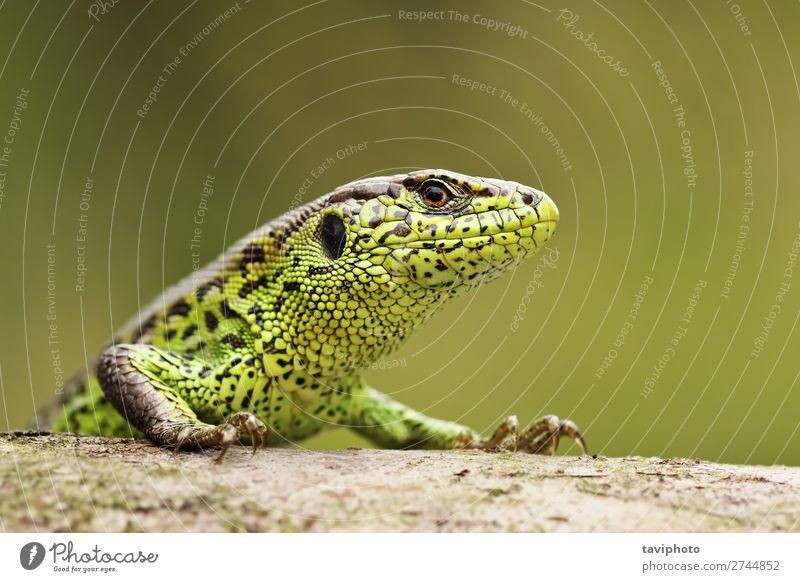 Nahaufnahme der bunten männlichen Zauneidechse schön Haut Garten Mann Erwachsene Umwelt Natur Tier Sand klein natürlich wild braun grün Farbe Lizard Tierwelt