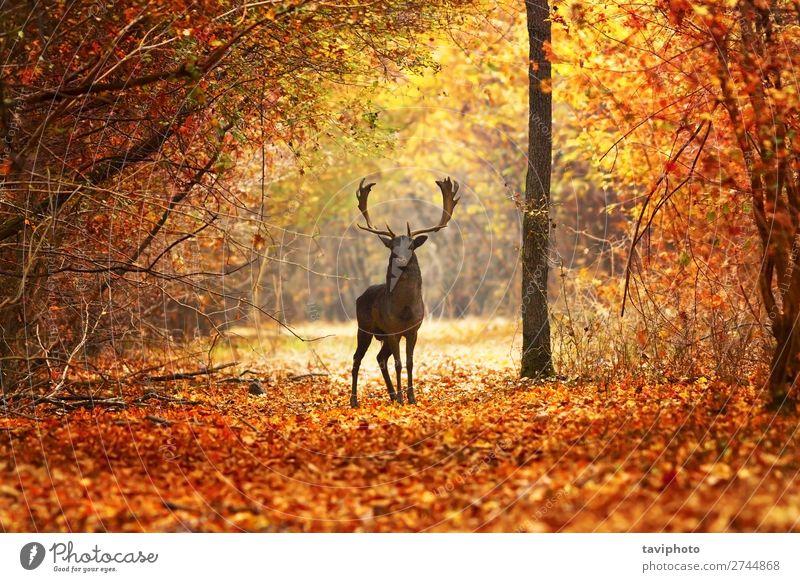 Damhirsch im schönen Herbstwald Spielen Mann Erwachsene Natur Landschaft Tier Baum Wald natürlich wild braun rot Farbe Hirsche Tierwelt fallen Säugetier