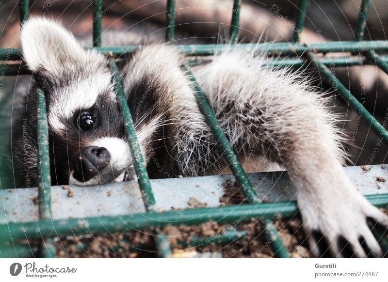 Her damit! Tier Wildtier wild niedlich Neugier festhalten Fell fantastisch Tiergesicht fangen Zaun Jagd frech Pfote Interesse Gitter