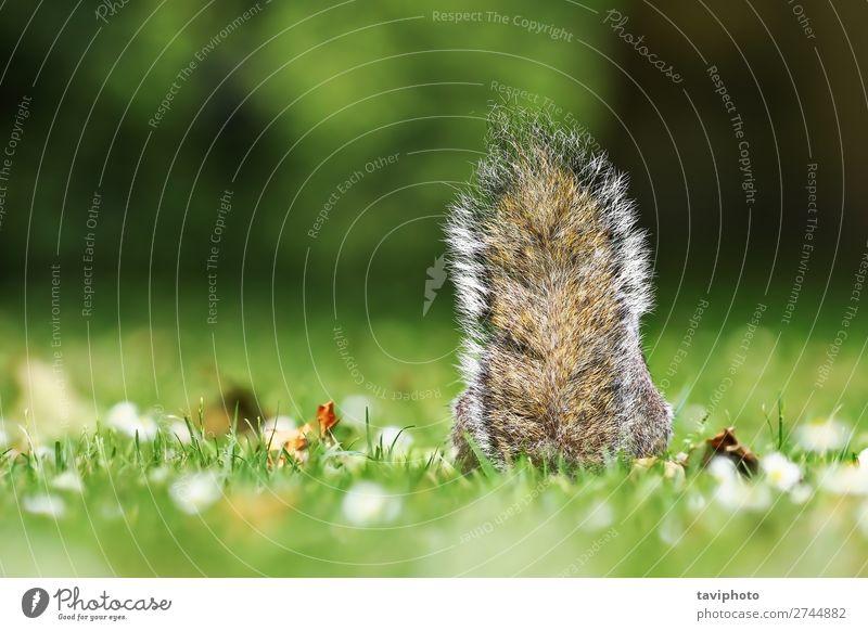 grauer Eichhörnchenschwanz im Gras schön Natur Tier Park Wald Pelzmantel Haustier Wildtier sitzen klein lustig natürlich niedlich wild braun grün Einsamkeit