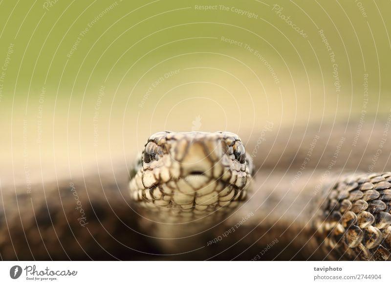 Portrait der ungarischen Wiesenotter schön Natur Tier Schlange wild Angst gefährlich Natter Ottern Kopf Lebewesen Vipera farbenfroh ursinii giftig viperinae