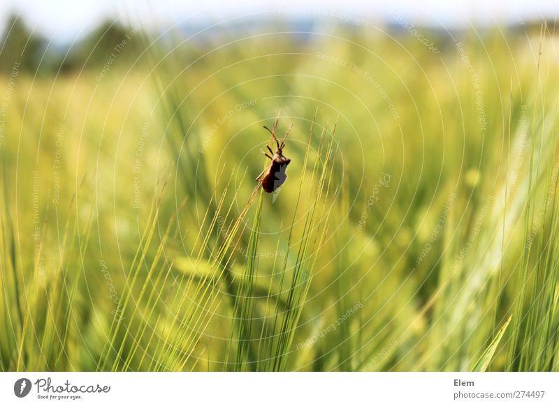 Stinkkäfer auf reisen Einsamkeit Tier ruhig Kraft Käfer