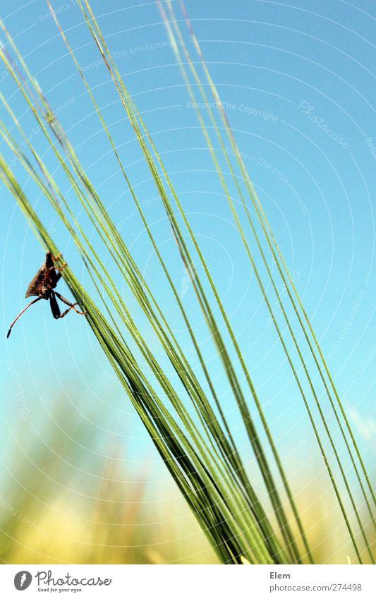 Selbst ein Stinkkäfer kann schön sein Tier Käfer 1 Ekel klein braun Farbfoto Außenaufnahme Blick nach vorn